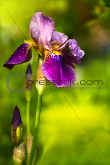 Purple German Iris or Iris germanica