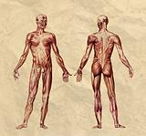 Human muscular system old print