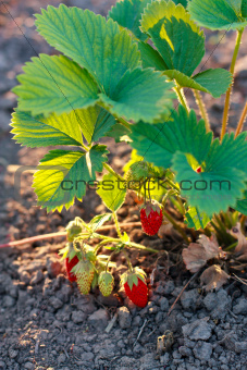 Bush of strawberry in sunlight