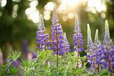 Wild Lupines