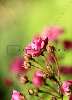 small decorative roses in a garden