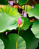 Bud of lotus flower