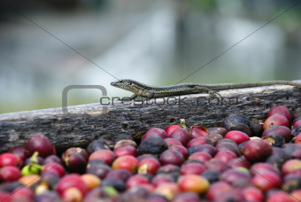 Lizard and fresh coffee grains