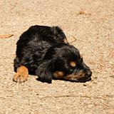 Sleeping puppy rottweiler