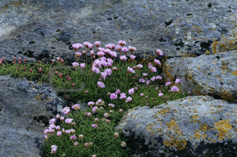 Thrift or Sea Pink - Armeria maritima