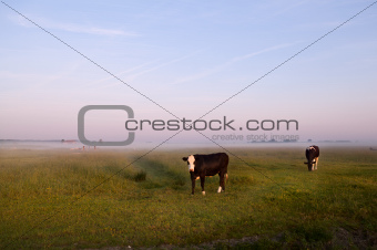 cows on Dutch pastoral