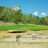 tobacco field, Pinar del Rio Province, Cuba
