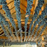 grapes drying for straw wine (neronet), Biza Winery, Cejkovice, Czech Republic
