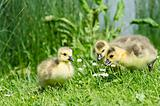 3 geese chicks