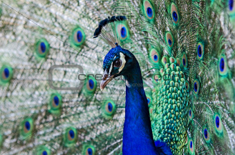 peacock male