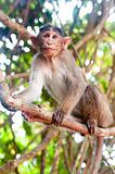 Rhesus Macaque - Macaca mulatta