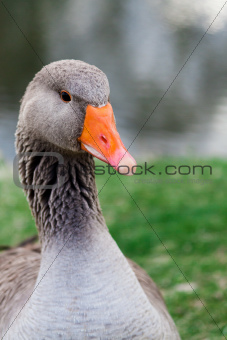 Anser Anser also known os greylag goose