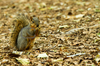 Squirrel Taking a chomp of something to eat