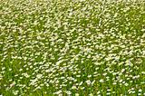 Meadow of florets