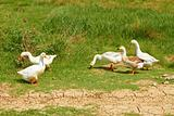 Geese in the pasture