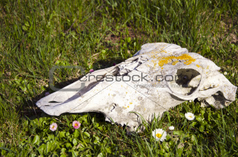 horse skull on grass and  flowers