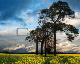 Rapeseed field contryside landscape at sunset with dramatic sky