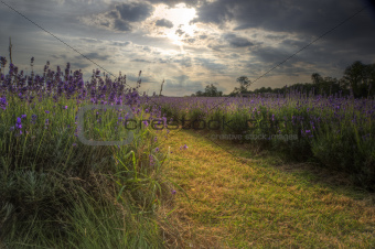 Beautifully detailed and vibrant lavender field landscape at sun