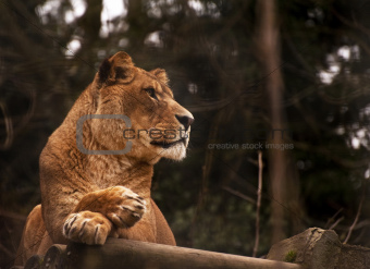 Stunning lioness relaxing on a warm day