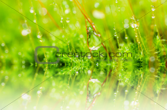 Fresh moss and water drops in green nature