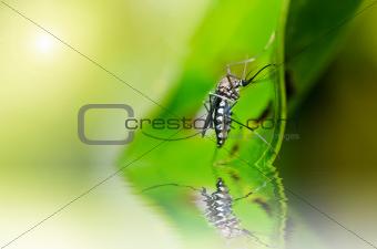 mosquito in nature