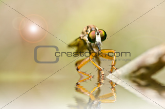 Robberfly in green nature