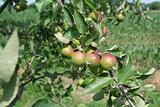 Immature apples