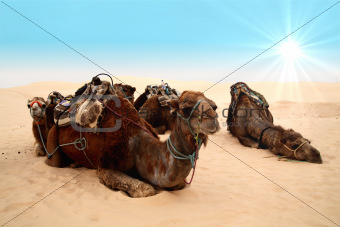 Camels in sahara desert