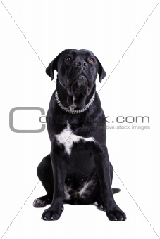 Cane Corso purebred dog