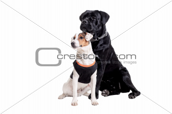 Jack Russel Terrier and Cane Corso