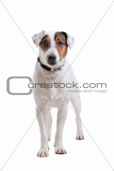 Jack Russel Terrier dog portrait