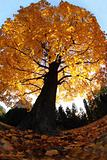 old tree in the autumn