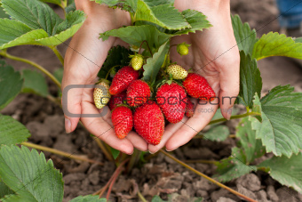 Red fresh strawberries in the woman hands
