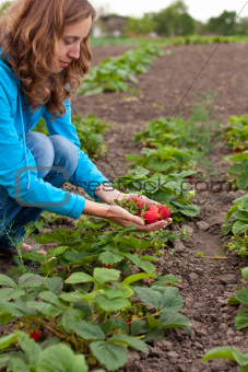 Young woman on harvesting of strawberries