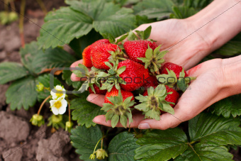 Red strawberries in the woman hands
