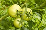 Green tomatoes in greenhouse