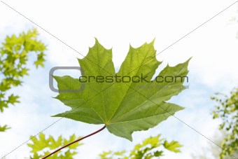 Maple leaf close-up against sky