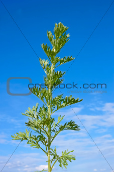 Sagebrush plant against blue sky