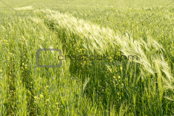 Cereals and other plants in the field