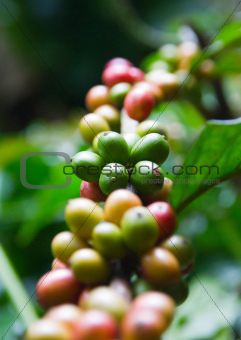 Beans of coffee tree