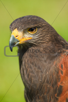 Harris Hawk or Parabuteo unicinctus