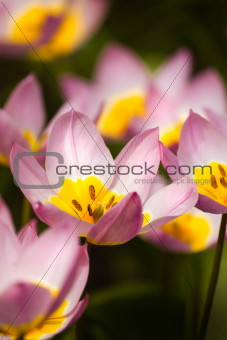 Small lilac tulips in spring