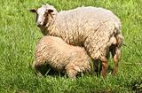 Mother sheep and lamb in spring