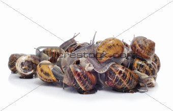land snails