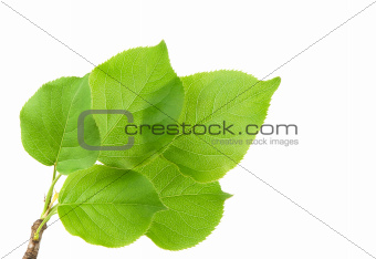 Green leaves on white background