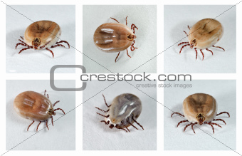 Dog Ticks.