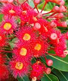 Eucalyptus summer red corymbia Australiana