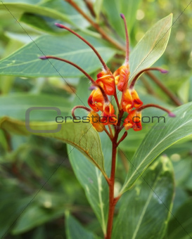 Australiana native plant Grevillea venusta with spider flower