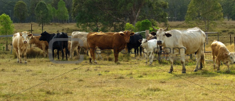 herd of australian beef cattle panarama