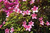 Pink azalea trees blossom